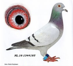 NL16-1344185 Lady Eye Catcher