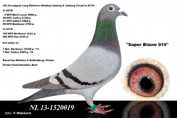 NL 13-1520019 - 3th Ace Pigeon Limburg & Sister of 2 National Winners
